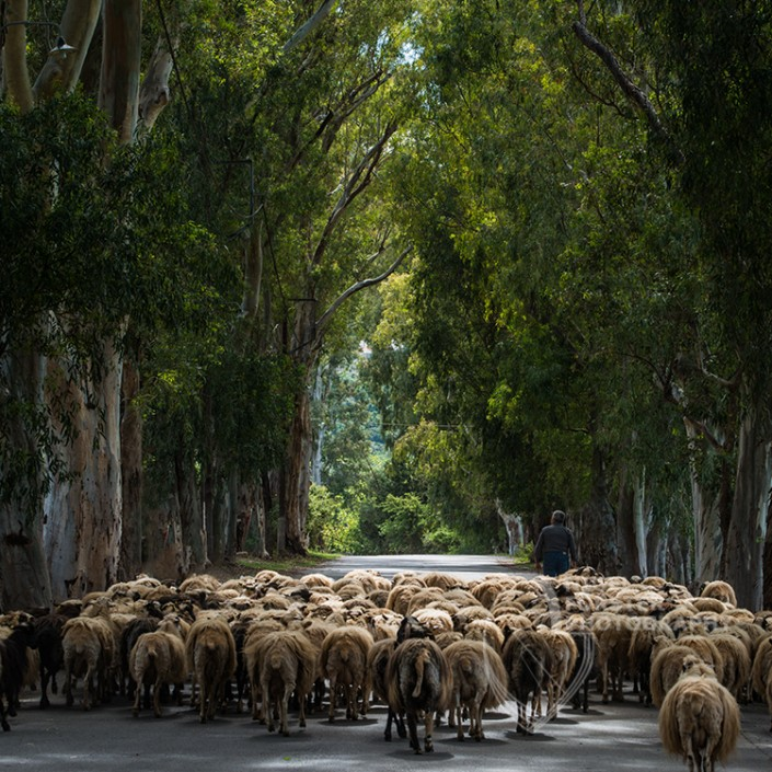 Herding Sheep, Crete, Greece. An example of Landscape, Architecture, Travel and Tourism Photography, using dramatic lighting and striking composition by Nigel Forster ABIPP. Commission Nigel Forster ABIPP to capture your business, event, attraction or location with dramatic use of light and striking composition.